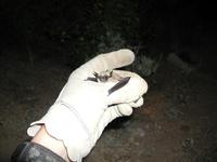 Image of: Myotis californicus (California myotis)