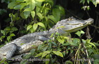 Caiman crocodilus fuscus - Brown Caiman