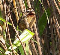 Striped Laughingthrush - Garrulax virgatus
