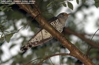 Indian Cuckoo - Cuculus micropterus