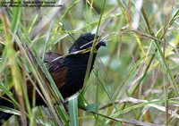 Lesser Coucal - Centropus bengalensis