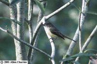 Sad Flycatcher - Myiarchus barbirostris