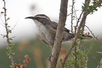 White-browed Babbler - Pomatostomus superciliosus