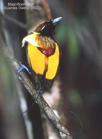 Magnificent Bird-of-paradise - Cicinnurus magnificus