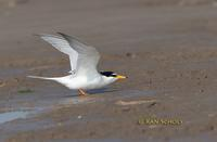 Little tern C20D 03456.jpg
