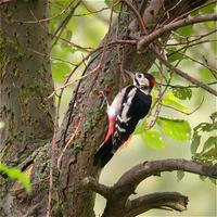 Great Spotted Woodpecker at Ferry Meadows