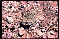 : Bufo alvarius; Colorado River Toad