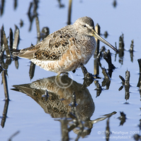 : Limnodromus griseus; Short-billed Dowitcher
