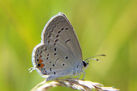 : Everes comyntas; Eastern Tailed Blue Butterfly