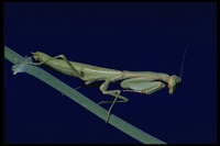 : Stagmomantis carolina; Carolina Mantis