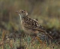 Ethiopia has some rare larks, including the restricted-range Sidamo (Long-clawed) Lark  (János O...