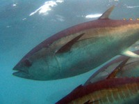 Thunnus maccoyii, Southern bluefin tuna: fisheries, aquaculture, gamefish