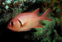 Myripristis murdjan, Pinecone soldierfish: fisheries, aquarium