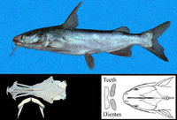 Cathorops steindachneri, Steindachner's sea catfish: fisheries