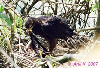 Black Eagle - Ictinaetus malayensis