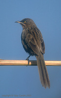 Striated Babbler - Turdoides earlei