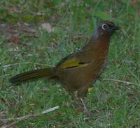 Malay Laughingthrush - Garrulax peninsulae