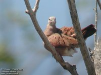 Ruddy Ground-Dove - Columbina talpacoti