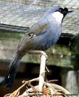 Black-throated Laughingthrush - Garrulax chinensis