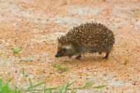 South African Hedgehog (Atelerix frontalis)
