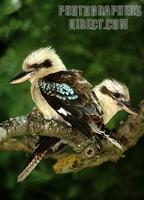 Laughing kookaburras stock photo