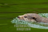 swimming European Otter ( Lutra lutra lutra ) , portrait stock photo