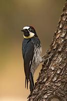 Acorn Woodpecker ( Melanerpes formicivorus ) , Gila National Forest , New Mexico stock photo
