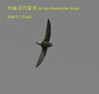 바늘꼬리칼새 White-throated Needle-eailed Swift