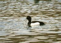 댕기흰죽지 Tufted Duck Aythya fuligula