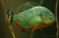 : Pygocentrus nattereri; Red-breasted Piranha