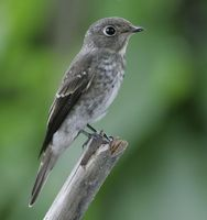 Dark-sided Flycatcher » Muscicapa sibirica