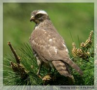 Gray-faced Buzzard - Butastur indicus