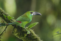 Crimson-rumped Toucanet (Aulacorhynchus haematopygus) photo