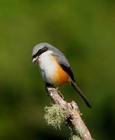 MOUNTAIN SHRIKE