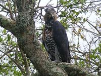 Crowned Eagle (Kronörn) - Stephanoaetus coronatus