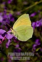 butterfly Brimstone Gonepteryx rhamni on flower stock photo