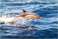 Delphinus capensis, Long-beaked common dolphin