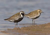 Pacific golden plover C20D 02362.jpg