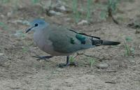 Emerald-spotted Wood-Dove p.170