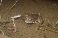 : Rana sierrae; Sierra Nevada Yellow-legged Frog