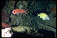 : Myripristis jacobus; Pinecone Soldierfish;