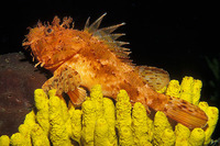 Scorpaena scrofa, Largescaled scorpionfish: fisheries, aquarium