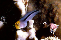 Ecsenius frontalis, Smooth-fin blenny: aquarium