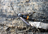 Synanthedon culiciformis - Large Red-belted Clearwing