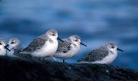 Calidris alba - Sanderling