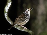 Striped Wren Babbler - Kenopia striata