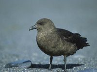 South Polar Skua (Catharacta maccormicki) photo