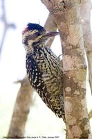 Striped Woodpecker - Picoides lignarius