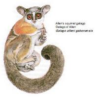 Allen's squirrel galago