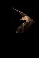 Mexican Long-tongued Bat ( Choeronycteris mexicana ) Amado , Arizona , United States stock photo